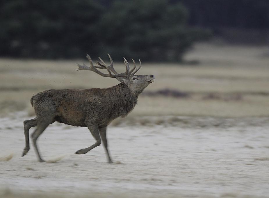Edelhert_Red_Deer_Cervus-Elaphus_marcelloromeo_2839